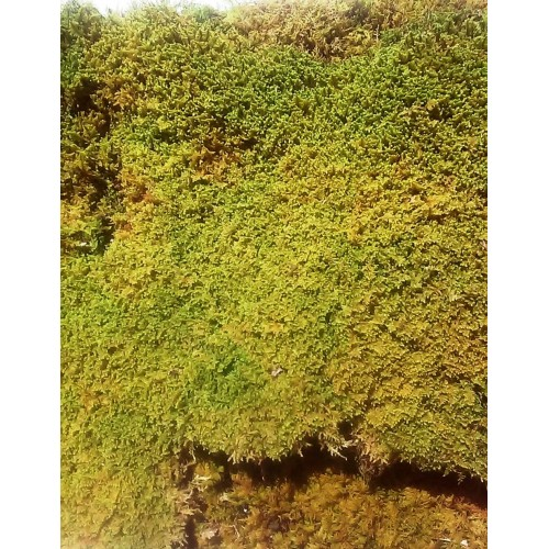Moss Sheet Pieces - dried